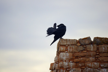 A picture of a northern raven standing on an old brick wall, looking to be making a  thumbs up -sign with its tail