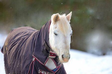 blanket horse: A closeup portrait of a white horse in a horse blanket, in a snowy winter setting  Stock Photo