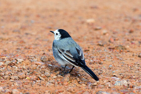 A closeup portrait of a white wagtail seen from the behind standing on some pinkish gravel Stock Photo - 26628205