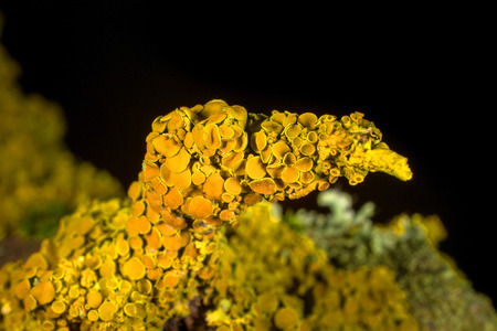 prodigious: A closeup shot of Xanthoria polycarpa lichen growing on a thick tree branch against a black
