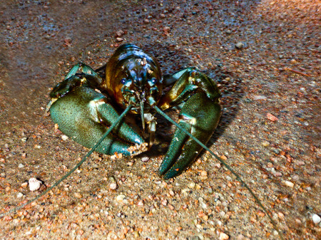 invasive species: A closeup picture of a signal crayfish lying on a sandy river shore  Stock Photo