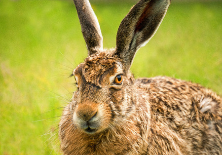 lagomorpha: A closeup oblique view portrait of a european hare against a green background