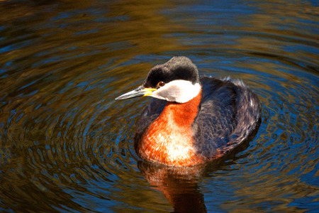 A closeup picture of a red-necked grebe floating on the rippling water surface of the sea