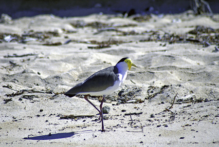 spur winged: A closeup picture of a masked lapwing in profile, walking across a beach