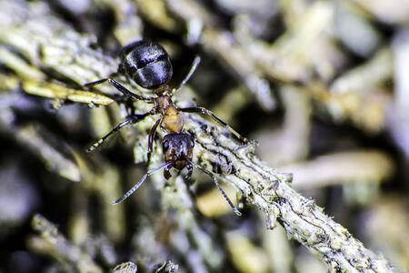 formic: Un tiro macro de una hormiga arrastr�ndose madera roja en una rama