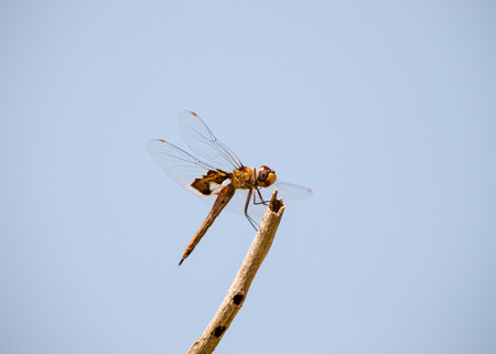 hindwing: Dragonfly on a brach Stock Photo