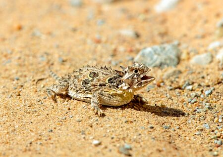 horned frog: Also nown as Horny Toad Stock Photo