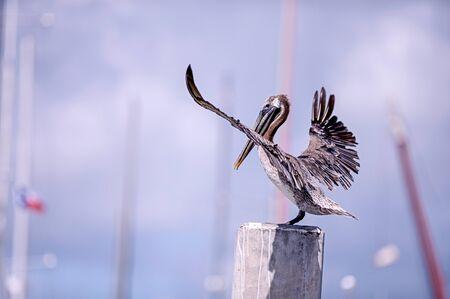 brown: Touchdown Brown pelican landing
