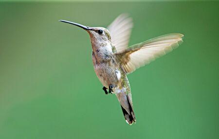 adaptable: Black-chinned hummingbird female Stock Photo