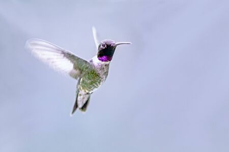 adaptable: Black-chinned hummingbird male Stock Photo