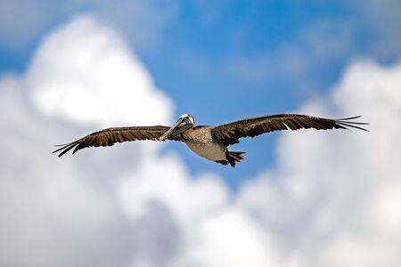 wing span: Brown pelicans has impressive wing span