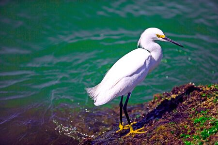 gregarious: Snowy egret by the water Stock Photo