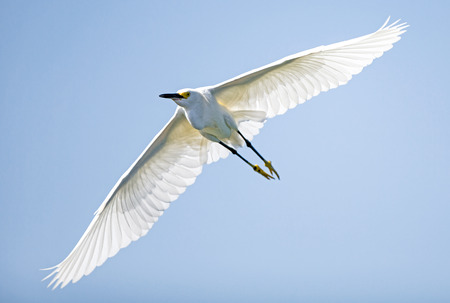 gregarious: Snowy egret a bright white bird with yellow feet