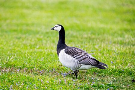 anseriformes: Barnacle Goose from the side Stock Photo