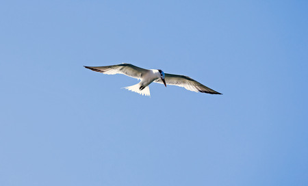 caspian: Caspian Tern flying by Stock Photo