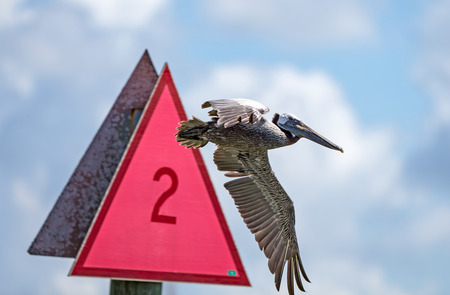 buoyant: Brown Pelicans ignore signs Stock Photo