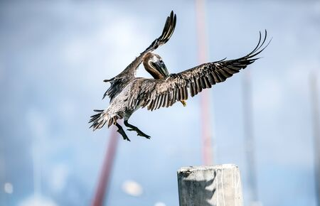 pin point: Brown Pelican making a pin point landing