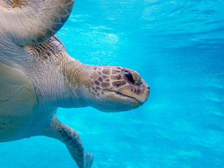 green sea: Green sea turtle under water