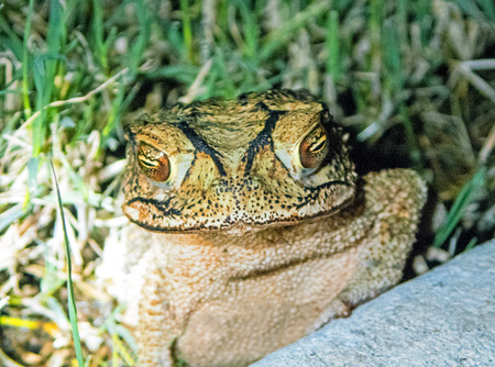 anura: Texas Toad a common ampibian in Texas