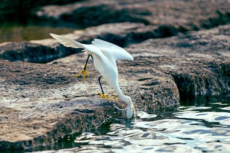 gregarious: Snowy egret darting for fish Stock Photo