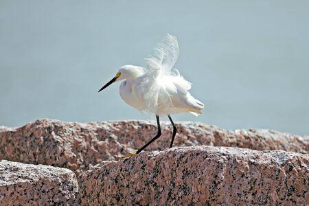 ardeidae: Snowy egret, has bright white plum and yellow feet