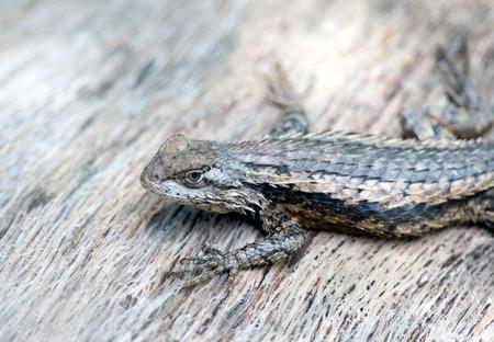 long toes: Texas Spiny Lizard an agile climber