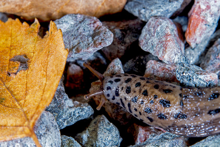 slug: leopard slug in the fall