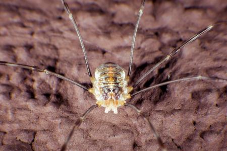 phalangida: Opiliones have long legs Stock Photo