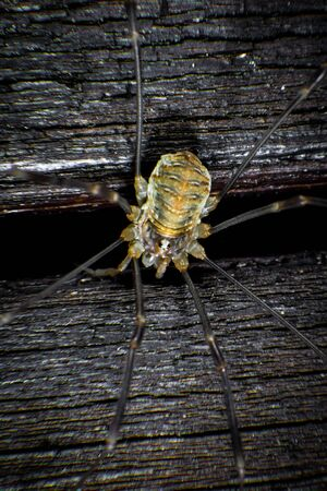 arachnida: Harvestmen on a wall