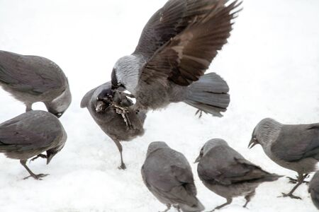 Jackdaws seemingly establishing the pecking order in the train