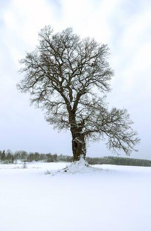 roble arbol: �rbol de roble solitario en un campo en invierno