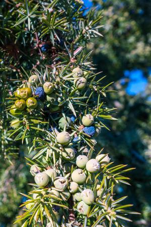 dioecious: Juniper berries on a common juniper bush