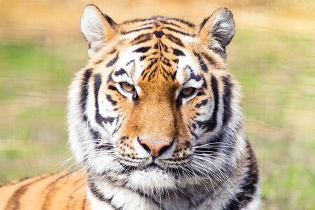 siberian tiger: Siberian tiger portrait Stock Photo