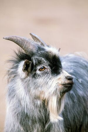 goat head: Goat kid