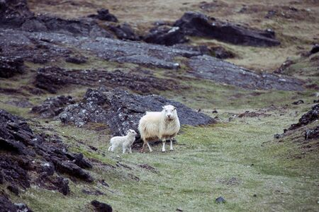 ewes: Icelandic sheep with her offspring Stock Photo