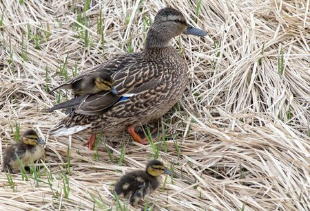 dabbling duck: Mallards and  ducklings