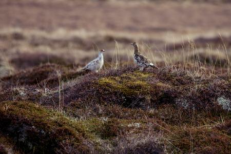 Rock ptarmigan couple on the tundra Stock Photo