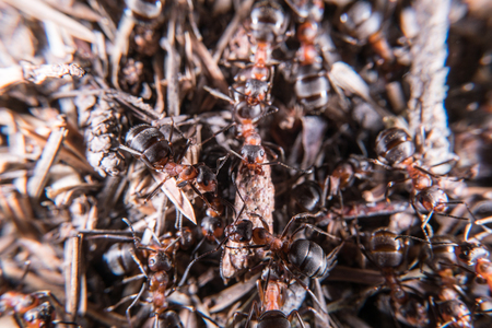 formica: Red wood ant in spring Stock Photo
