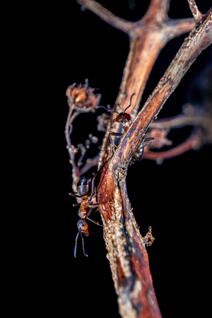 formic: Red wood ants on a plant