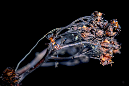 Red wood ants on a dead flower