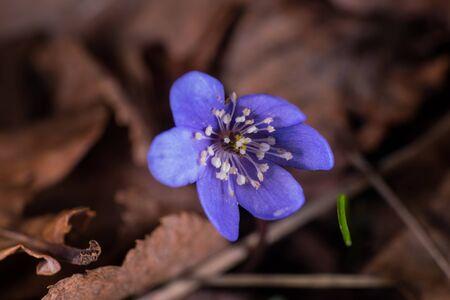 liverwort: common hepatica in spring