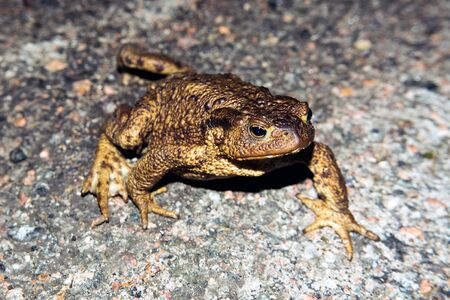Common toad walking on asphalt