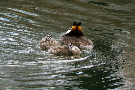 Great crested grebe during breeding season