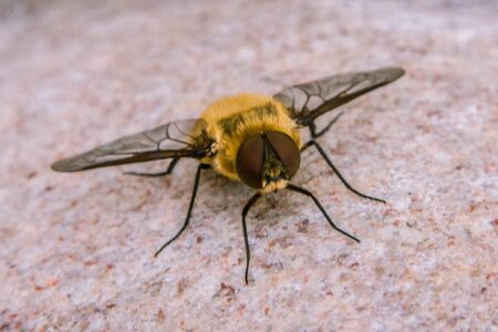 Criorhina asilica is a  hoverfly, in the Criorhina  genus of hoverflies Stock Photo