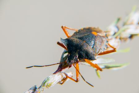 Red-legged shieldbug up close Stock Photo