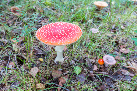 Fly amanita is often easily recognized with white spotts on red