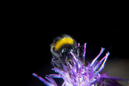 Bumblebee on a thistle in summer
