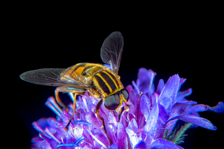 Large Tiger Hoverfly on a thistle flower Stock Photo
