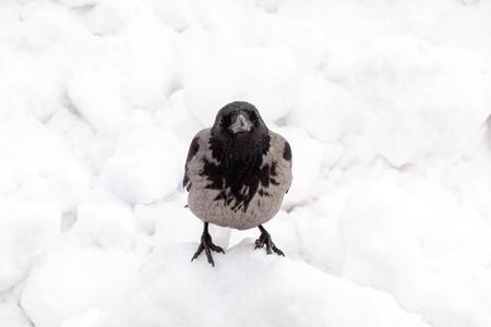 Hooded crow in winter Reklamní fotografie