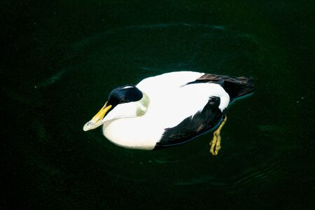 Common Eider Drake swimming on the surface 写真素材